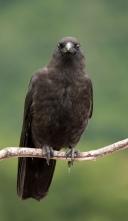 Corvus_caurinus_(facing)