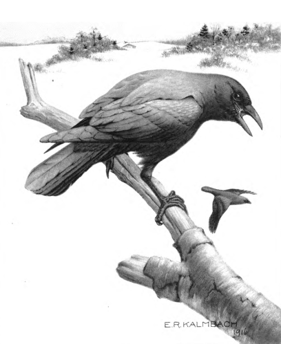 The_Crow_and_Its_Relation_to_Man-9