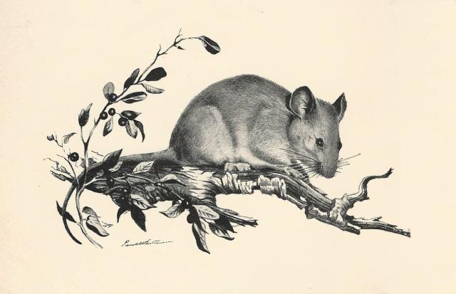 Dusky-Footed Wood Rat