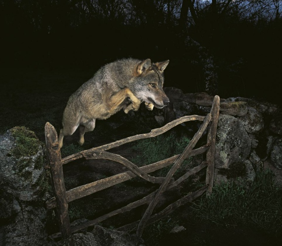 José Luis Rodriguez - Storybook Wolf (2009)