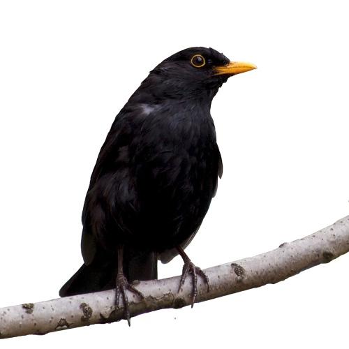 Black Bird White Background