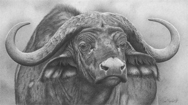 Clive Meredith - Cape Buffalo