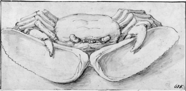 Parmigianino (eg. Francesco Mazzola) - A Crab Holding a Mussel Open with its Claws (16th cent.)