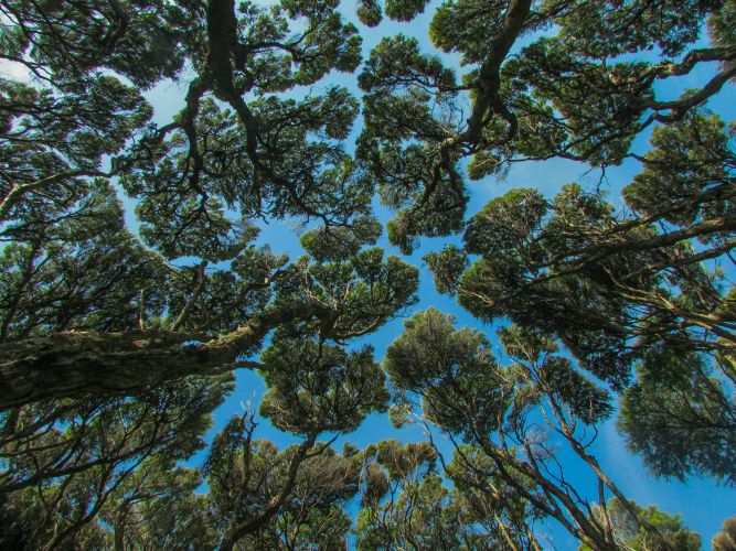 Moonclouds - Forest Canopy in Coromandel, New Zealand