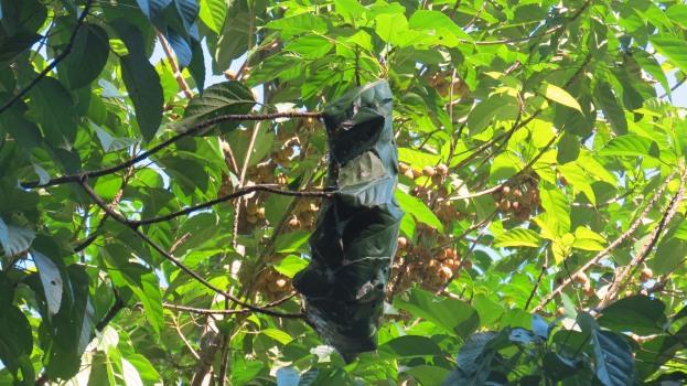 Weaver ant nest in the trees