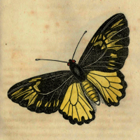 Papilio Amprhrysius - The Amphrysius Butterfly