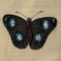 Papilio Bolina -- Amboyna - The Bolina Butterfly