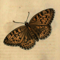 Papilio Charlotta - The Charlotte Butterfly