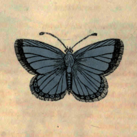 Papilio Corydon - The Chalk-Hill Blue Butterfly