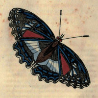 Papilio Cramerianus - The Cramerian Butterfly