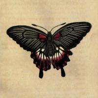 Papilio Deiphobus - The Deiphobus Butterfly