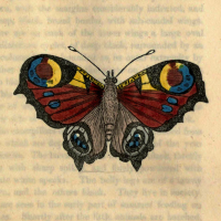 Papilio Io - The Peacock Butterfly