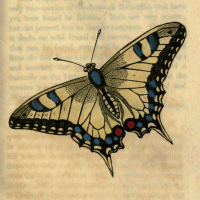 Papilio Machaon - The Swallow-Tail Butterfly