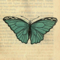 Papilio Menelaus - The Silver-Blue Butterfly