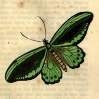 Papilio Priamus - Amboyna - The Imperial Trojan