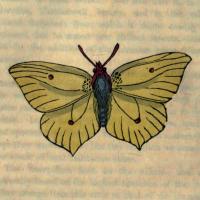 Papilio Rhamni - The Brimstone Butterfly