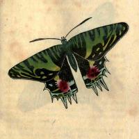 Papilio Ripheus - The Oriental Emperor