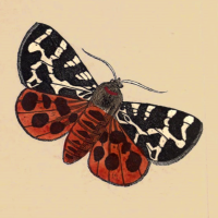 Phalaena Caja - The Great Tiger Moth