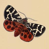 Phalaena Caja - The Great Tiger Moth