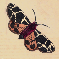 Phalaena Flavia - The Bright Moth