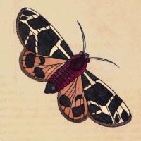 Phalaena Flavia - The Bright Moth