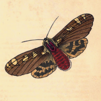 Phalaena Matronala - The Matronala Moth