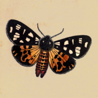 Phalaena Villica - The Cream Spotted Tiger Moth