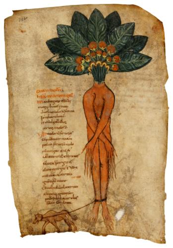 Mandragora - Pseudo-Apuleius - De herbarum medicaminibus (late 9th cent.) Kassel Manuscript